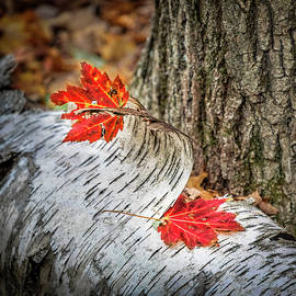 Red Leaves And White Bark by Elvira Peretsman