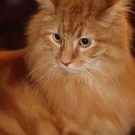 Red Maine Coon Cat by Femina Photo Art By Maggie