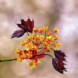 Red Maple bloom by Tony Hulme