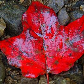 Red Maple Leaf by Dave by Photography By Phos3 Kathryn Parent and Dave Paddick