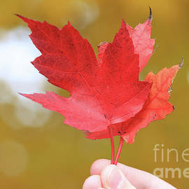 Red Maple Leaves by Jane Tomlin