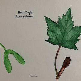 Red Maple Tree ID W/ Border by Michael Panno