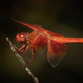 Red Dragonfly by MaryJane Sesto