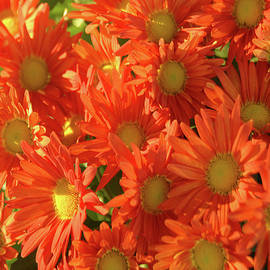 Red Mums by Bill Tincher