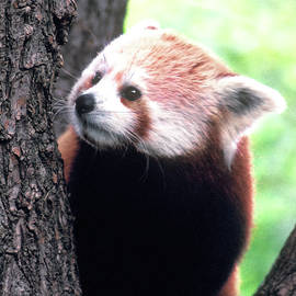 Red Panda by Jerry Griffin