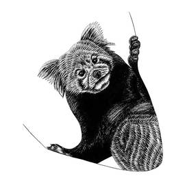 Red panda by Loren Dowding