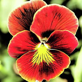 Red Pansy dramatic tone by Tom Halseth