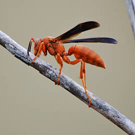 Red Paper Wasp Close Up by Gaby Ethington