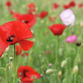 Red Poppies at Pictorial Meadow by Jenny Rainbow