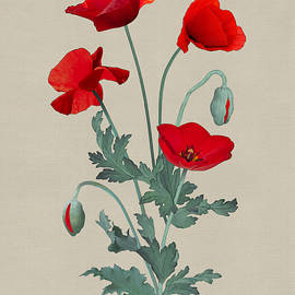 Red Poppies by Spadecaller