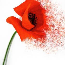 Red Poppy by Al Fio Bonina