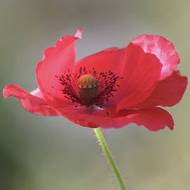 Red poppy by Ana Dawani