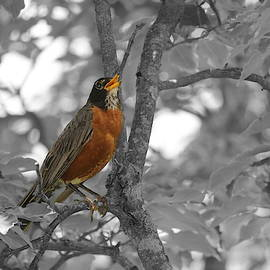 Red Robin Selective Coloring by Living Color Photography Lorraine Lynch