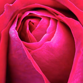 Red Rose by Angie C