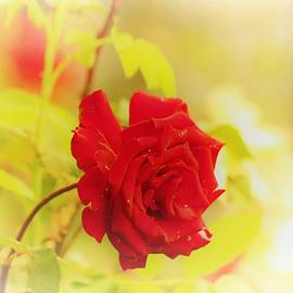 Red rose by Cozma Mihaela