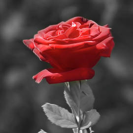 Red Rose Selective Color by Sandra J's