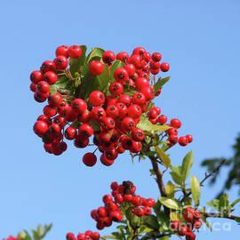 Red Rowan Berries Against A Blue Sky by Kathryn Jones