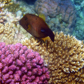Red Sea Broom Filefish by Johanna Hurmerinta