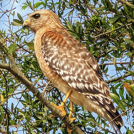 Red Shoulder Hawk March 2020 by Jerry Griffin