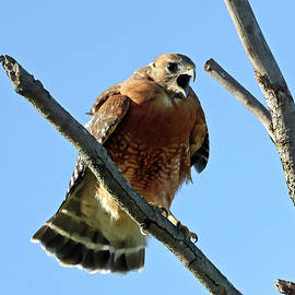 Red-shouldered Hawk 552, Indiana by Steve Gass