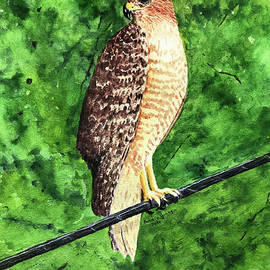 Red-shouldered Hawk by Bonnie Young