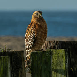 Red-Shouldered Hawk by the Sea 03-03  by Bruce Frye