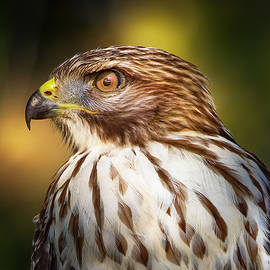 Red Shouldered Hawk Close Up by Mark Andrew Thomas