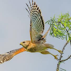 Red Shouldered Hawk Flight by Morris Finkelstein
