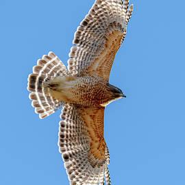 Red Shouldered Hawk Flyover by Morris Finkelstein
