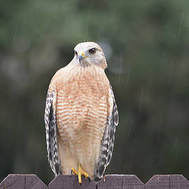 Red Shouldered Hawk In The Rain by Aimee L Maher ALM GALLERY