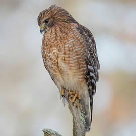 Red-shouldered Hawk by Kari McDonald