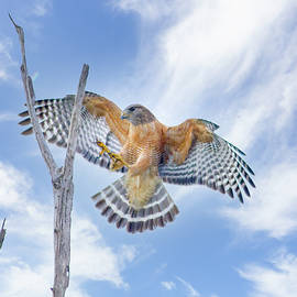 Red Shouldered Hawk Landing by Mark Andrew Thomas