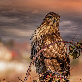 Red-Shouldered Hawk Portrait by Mitch Shindelbower