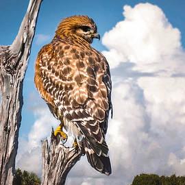 Red Shouldered Hawk by Rebecca Herranen