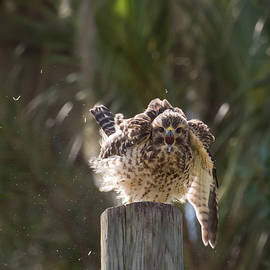 Red-shouldered hawk screeches by Zina Stromberg