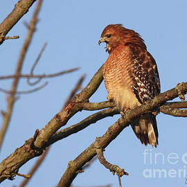 Red Shouldered Hawk by Steve Gass