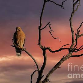 Red-Shouldered Hawk Sunrise by Mitch Shindelbower