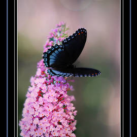 Red-Spotted Purple Greeting Card by Marilyn DeBlock