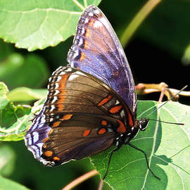 Red Spotted Purple by Susan Hope Finley