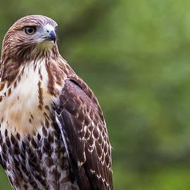 Red-tail Hawk Portrait by Matthew Gehly