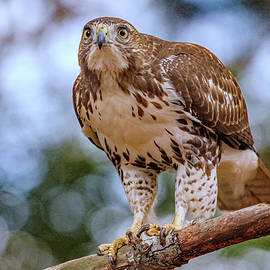 Red-tailed Hawk  by Eric Albright