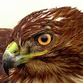 Red-tailed hawk by Floyd Hopper