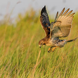 Red-Tailed Hawk Hunting At Sunset #2 by Morris Finkelstein