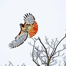 Red Tailed Hawk In Flight by Debbie Oppermann