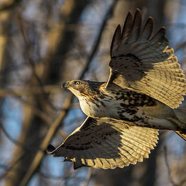 Red-tailed Hawk in sunset by Mircea Costina Photography