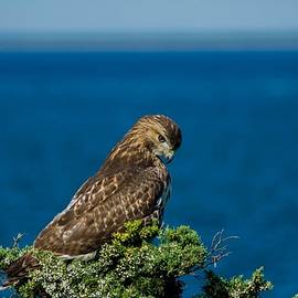 Red-Tailed Hawk on Martha's Vineyard by Linda Howes
