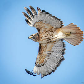 Red-tailed Hawk out Hunting by Judi Dressler