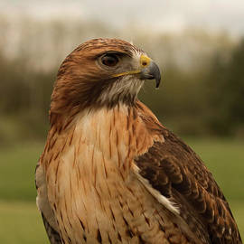 Red Tailed Hawk Portrait by Barbara McMahon