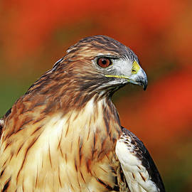 Red Tailed Hawk Profile by Debbie Oppermann