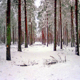 Red Trees in the Winter Forest by Brian Shaw